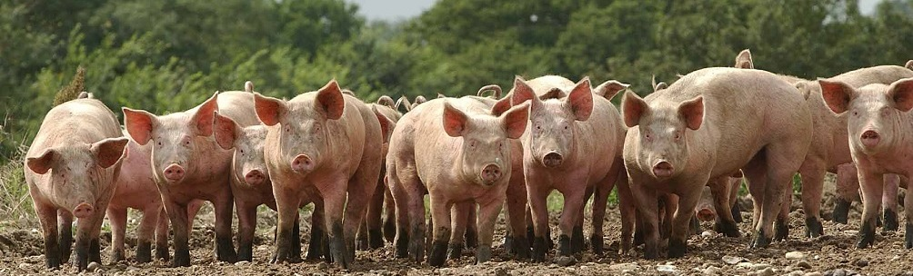 Protein, vitamin and mineral supplements (PVMS) for pigs by